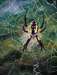 Argiope Web