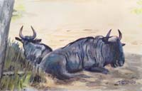 Blue Wildebeeste