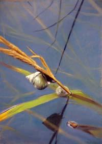 Marsh Snail